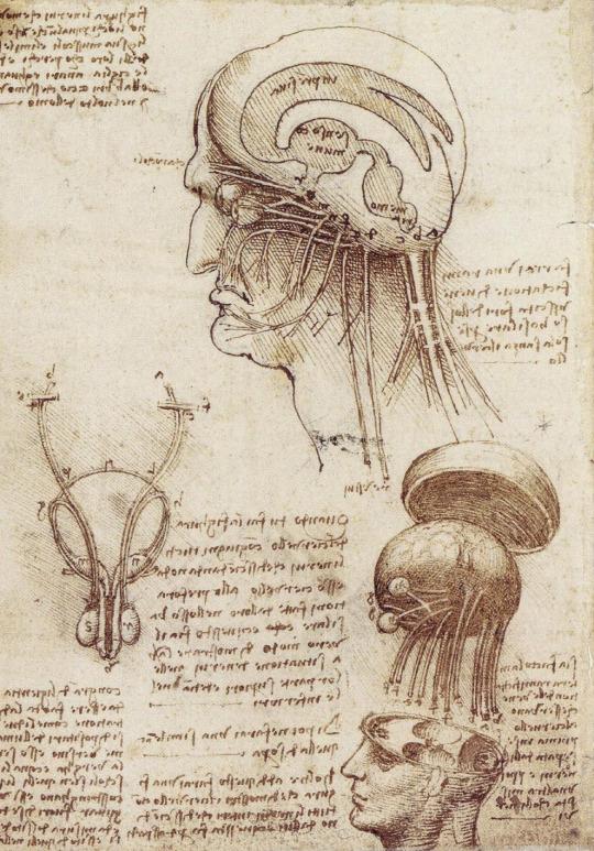 leonardo da vinci human anatomy studies